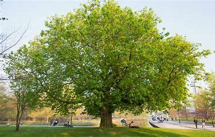 Nota Stadsbomen