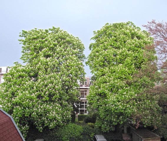 Gaan deze prachtige bomen tegen de vlakte?